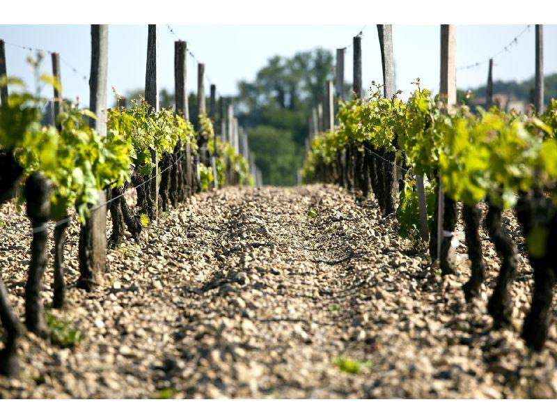 Vignes en appellation Haut Médoc
