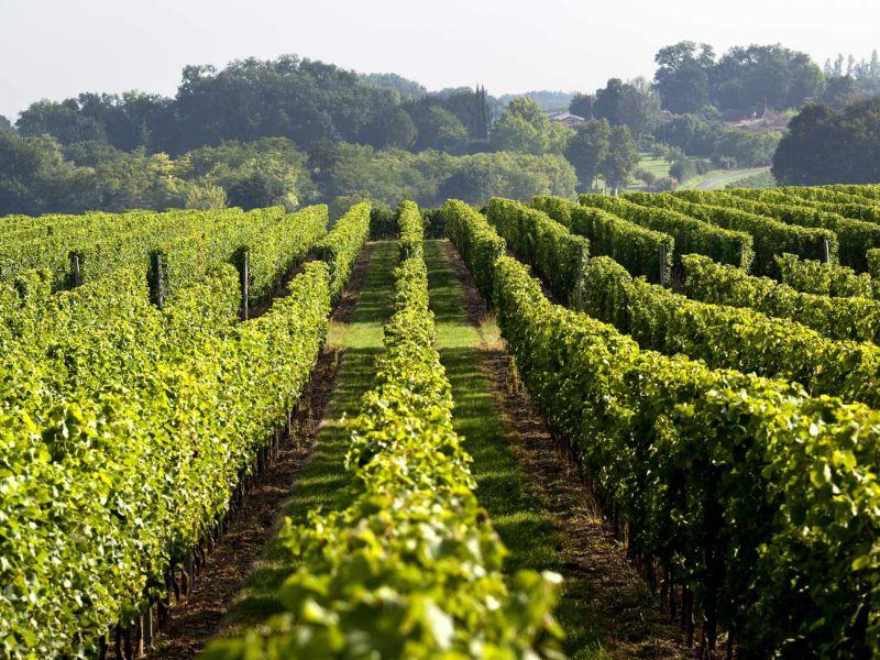 Parcelles de vigne en AOC Médoc