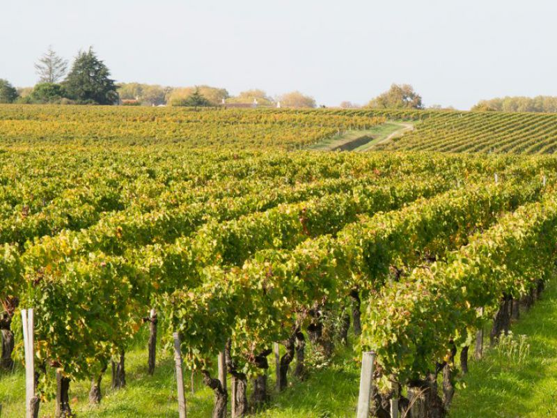 Environ 8 hectares de vignes en AOP Saint-Estèphe